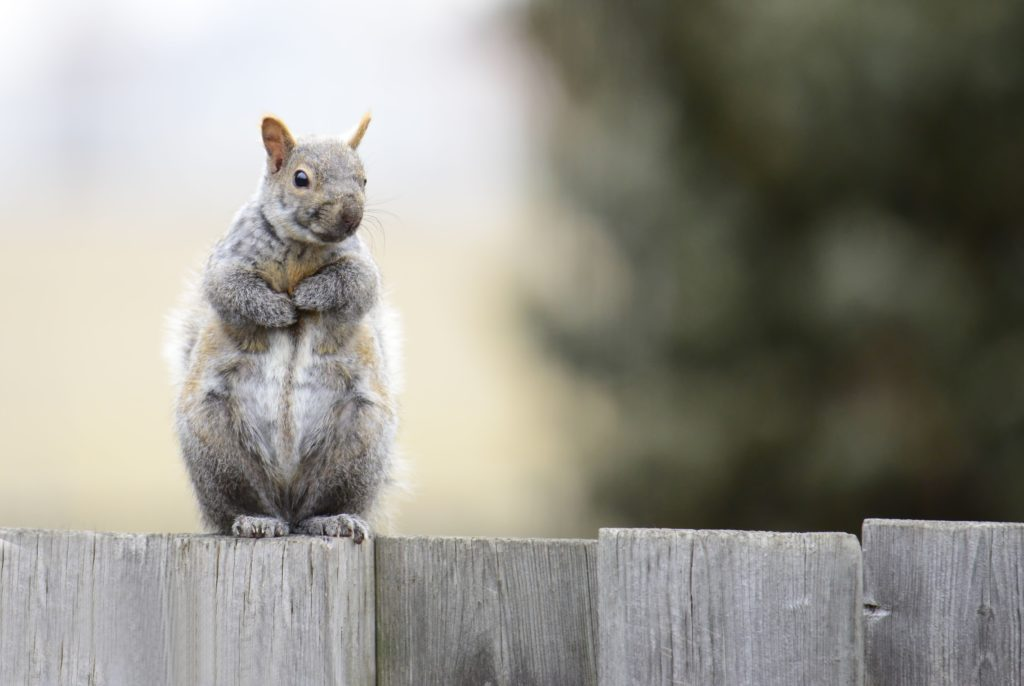 Squirrel on wood fence
